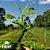 Mogno Brasileiro - Swietenia Macrophylla (Valor da unidade caixa com 50 mudas) - Imagem 1