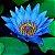 LOTUS AZUL SEMENTES - Nymphaea caerulea,flor de liz sagrada das aguas,lotus SEMENTES  c/ 25 grs - Imagem 1