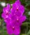 Vanda Kasen Delight Somsri Pink - T3 - Imagem 1