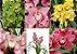 5 orquídeas cymbidium coloridas - T3 - Imagem 1