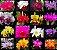 ***FRETE GRÁTIS: 16 Orquídeas Cattleyas Adultas SORTIDAS + 3 Adubos melhor do mundo*** - Imagem 1
