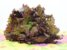 Alface Roxa - Imagem 1