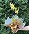 Orquídea Phalaenopsis Plantada - Imagem 1