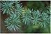 Óleo Essencial de Cedro do Himalaia 10,1ML - Imagem 2