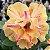 Muda de Rosa do Deserto de enxerto com flor dobrada na cor Amarela Matizada - Yellow Treassure - Imagem 1