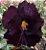 Muda de Rosa do Deserto de enxerto com flor dobrada na cor Roxa - LM-3 - Imagem 1