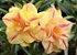 Muda de Rosa do Deserto de enxerto com flor tripla na cor amarela matizada - Carolina - Imagem 1