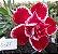 Muda de Rosa do Deserto de enxerto com flor dobrada na cor vermelha matizada- L-25 - Imagem 1