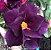 Muda de Rosa do Deserto de enxerto com flor dobrada na cor Roxa- LM-5 - Imagem 1