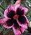 Muda de Rosa do Deserto de enxerto com flor simples na cor Roxa matizada - Magic Elf - Imagem 1