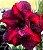 Muda de Rosa do Deserto de enxerto com flor dobrada na cor Matizada - Ìndigo Dream - Imagem 1