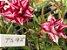 Muda de Rosa do Deserto de enxerto com flor tripla na cor Matizada - TS-95 - Imagem 1