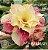 Muda Rosa do Deserto de enxerto com flor tripla na cor amarela matizada - EV135/21 - Imagem 1