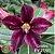 Muda Rosa do Deserto de enxerto com flor simples na cor roxa matizada - EV27/21 Caroline - Imagem 1