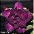 Enxerto Multicolor - Tricolor - Imagem 4
