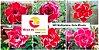 MIX com 50 sementes de flores dobradas e triplas - Série Miracle - Rinoa Chen - Imagem 1