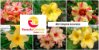 MIX com 50 sementes de flores simples amarelas - Rinoa Chen - Imagem 1