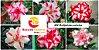 MIX com 5 sementes de flores dobradas e triplas estrelas - Rinoa Chen - Imagem 1