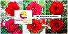 MIX com 5 sementes de flores dobradas e triplas vermelhas- Rinoa Chen - Imagem 1