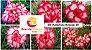 MIX com 50 sementes de flores dobradas e triplas matizadas bv - Rinoa Chen - Imagem 1