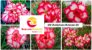 MIX com 30 sementes de flores dobradas e triplas matizadas bv - Rinoa Chen - Imagem 1