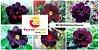 MIX com 30 sementes de flores dobradas e triplas escuras - Rinoa Chen - Imagem 1