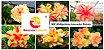 MIX com 30 sementes de flores dobradas e triplas amarelas estrela - Rinoa Chen - Imagem 1