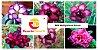 MIX com 5 sementes de flores dobradas e triplas roxa - Rinoa Chen - Imagem 1