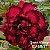 Muda Rosa do Deserto de enxerto com flor quádrupla na cor Vermelho e Preto - EV60 GUARÁ PITANGA - Imagem 1