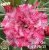 Muda Rosa do Deserto de enxerto com flor tripla na cor Rosa matizada - EV75/21Billie Cole - Imagem 1