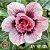 ENXERTO-EV101-21-Muda Rosa do Deserto de enxerto com flor tripla na cor matizada - EV101/21 - Imagem 1