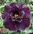 Muda Rosa do Deserto de enxerto com flor dobrada na cor roxa - EV187/21 Via Láctea - Imagem 1