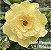 Muda Rosa do Deserto de enxerto com flor tripla bouquet na cor amarela - EV170/21 Bridal Bouquet - Imagem 1