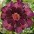 Muda Rosa do Deserto de enxerto com flor dobrada na cor Vinho - EV13/21 Cacau - Imagem 1