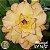 Muda Rosa do Deserto de enxerto com flor tripla na cor Amarela Matizada - EV16/21 Rapunzel - Imagem 1