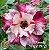 Muda Rosa do Deserto de enxerto com flor dobrada na cor Matizada - EV19/21 XANADÚ - Imagem 1