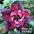 Muda Rosa do Deserto de enxerto com flor dobrada na cor Matizada - EV43/21 MÍSTER JOB - Imagem 1