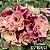 Muda Rosa do Deserto de enxerto com flor tripla na cor Matizada - EV107/21 Marsala - Imagem 1
