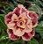 Muda Rosa do Deserto de enxerto com flor tripla na cor Matizada - EV107/21 Marsala - Imagem 2