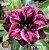 Muda Rosa do Deserto de enxerto com flor dobradas na cor Roxa Matizada - EV119/21 Paris - Imagem 1
