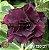 Muda Rosa do Deserto de enxerto com flor dobrada na cor Negra - EV130/21 - Imagem 1