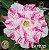Muda Rosa do Deserto de enxerto com flor tripla na cor Matizada - EV111/21 - Imagem 1