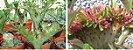 Flor Simples - Kit com 3 sementes - Red Flabellate - Mr. Ko - Imagem 1