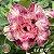 Muda Rosa do Deserto de enxerto com flor dobrada / tripla na cor Matizada - EV61/21 - Imagem 1