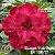 Muda Rosa do Deserto de enxerto com flor tripla Bouquet na cor Pink - EV100/21 Bouquet Pink Tripla - Imagem 1