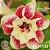 Muda Rosa do Deserto de enxerto com flor dobrada na cor Matizada - EV117/21 - Imagem 1