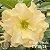 Muda Rosa do Deserto de enxerto com flor dobrada na cor amarela - EV18/21 MAGIC PÉROLA - Imagem 1
