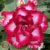 Muda Rosa do Deserto de enxerto com flor tripla na cor Rosa e Branca - EV196/21 - Imagem 1