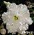 Muda Rosa do Deserto de enxerto com flor tripla na cor Branca - EV124/21 - Imagem 1