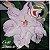 Muda Rosa do Deserto de enxerto com flor dobrada na cor Branca Matizada - EV80/21Branca de neve - Imagem 2